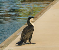 Cormorant on the marina. Photo took in New Zealand, photo is usable on picture post card, calendar, gardening, magazine Stock Photos