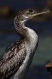 Cormorant Stock Image