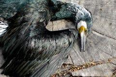 Cormorant mort sur un rondin Image libre de droits