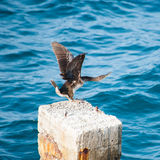 Cormorant moving its wings - Creta Stock Photos