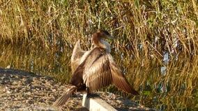Cormorant near a lake stock video footage