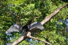 Cormorant nell'Honduras Immagine Stock Libera da Diritti