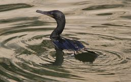 Cormorant nero fotografia stock