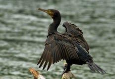 Cormorant nero Immagini Stock