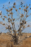 Cormorant nests in a tree Stock Photo