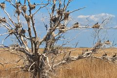 Cormorant nests in a tree Royalty Free Stock Images