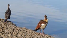 Cormorant and Nile goose stock video