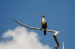 Cormorant Okefenokee Swamp Stock Images