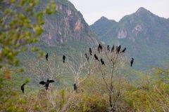 Cormorant, pássaros pretos na árvore, Tailândia. Foto de Stock Royalty Free