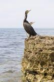 Cormorant på rock royaltyfri foto