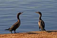 Cormorant Pair. A pair of cormorants on a lake Royalty Free Stock Image