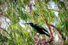 A Cormorant is peaking through the leaves at Corroboree Billabong, NT, Australia Royalty Free Stock Images