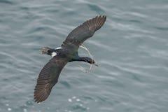 Cormorant pelagico fotografia stock libera da diritti