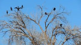 Cormorant Perch Royalty Free Stock Photography