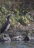 Cormorant Stock Photos