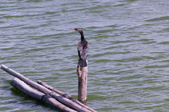 Cormorant perched on tree stumps Stock Photo