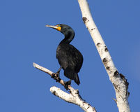 Cormorant perched up in tree with blue sky. Cormorant perching on birch tree trying to dry its wings Stock Image