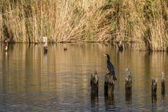 Cormorant perched on wooden pole in Lake Massaciuccoli, Tuscany, Italy royalty free stock image