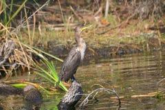 Cormorant At Salt Springs Run. A cormorant perches at Salt Springs Run in Ocala National Forest, Florida stock photos