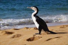 Cormorant pezzato Fotografie Stock Libere da Diritti