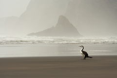 Cormorant pezzato australiano Fotografia Stock