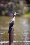 Cormorant (Phalacrocorax) Stock Photo