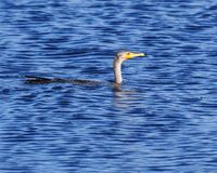 Cormorant - Phalacrocorax auritus Stock Photography