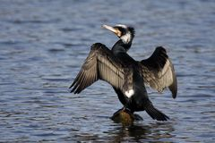 Cormorant - Phalacrocorax carbo Royalty Free Stock Images
