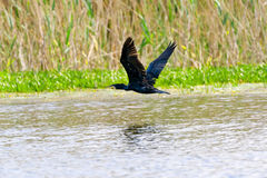 Cormorant (phalacrocorax carbo ) in flight Stock Image