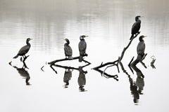 Cormorant, Phalacrocorax carbo Royalty Free Stock Image