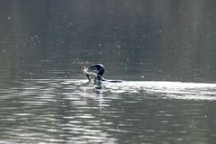 Cormorant Phalacrocorax carbo hunting and catching freshwater eel and pierces the skin royalty free stock photo