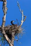 Cormorant (phalacrocorax carbo ) on nest Stock Photography