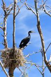 Cormorant (phalacrocorax carbo ) on nest Stock Image