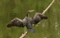 A Cormorant Phalacrocorax carbo perched above the water on a branch with its wings open. A stunning Cormorant Phalacrocorax carbo perched above the water on a Stock Image