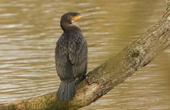 A Cormorant Phalacrocorax carbo perched on a branch above the water. A stunning Cormorant Phalacrocorax carbo perched on a branch above the water Stock Photos