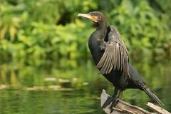 A Cormorant Phalacrocorax carbo perched on a log in the river with its wings open. Cormorant Phalacrocorax carbo perched on a log in the river with its wings Stock Photos