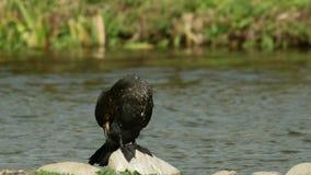 Cormorant (Phalacrocorax carbo) preening stock video footage