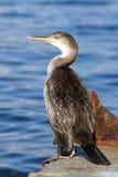 Cormorant (Phalacrocorax carbo) Stock Photos