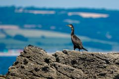 A watchful cormorant on a rock Royalty Free Stock Image
