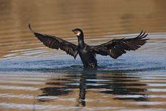 Cormorant, Phalacrocorax carbo Royalty Free Stock Image