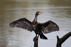Cormorant, Phalacrocorax carbo Royalty Free Stock Photo