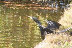 Cormorant (Phalacrocorax carbo). Sunbathing on a lakeside bank Stock Photo