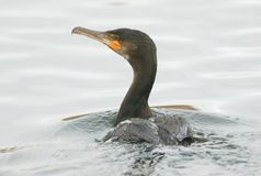 A Cormorant Phalacrocorax carbo swimming in a lake hunting for fish. A stunninh Cormorant Phalacrocorax carbo swimming in a lake hunting for fish Royalty Free Stock Images