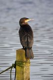 Cormorant - Phalacrocoraxcarbo Royaltyfria Foton