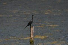 Cormorant a Phuket, Tailandia Fotografia Stock Libera da Diritti