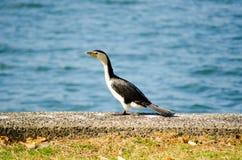 Cormorant, piccolo uccello acquatico pezzato che sta da solo vicino ad un fiume in Australia fotografia stock libera da diritti