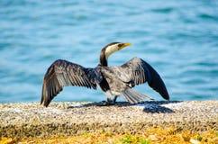 Cormorant, piccolo uccello acquatico pezzato ha spanto le sue ali vicino al fiume del cuoco, Sydney, Australia fotografie stock