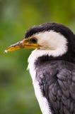 Cormorant Pied pequeno Fotografia de Stock