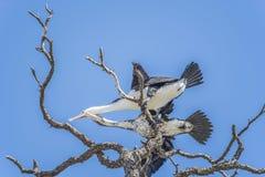 Cormorant ( Pied Shag ) Stock Photography