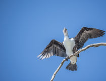 Cormorant ( Pied Shag ) Royalty Free Stock Image
